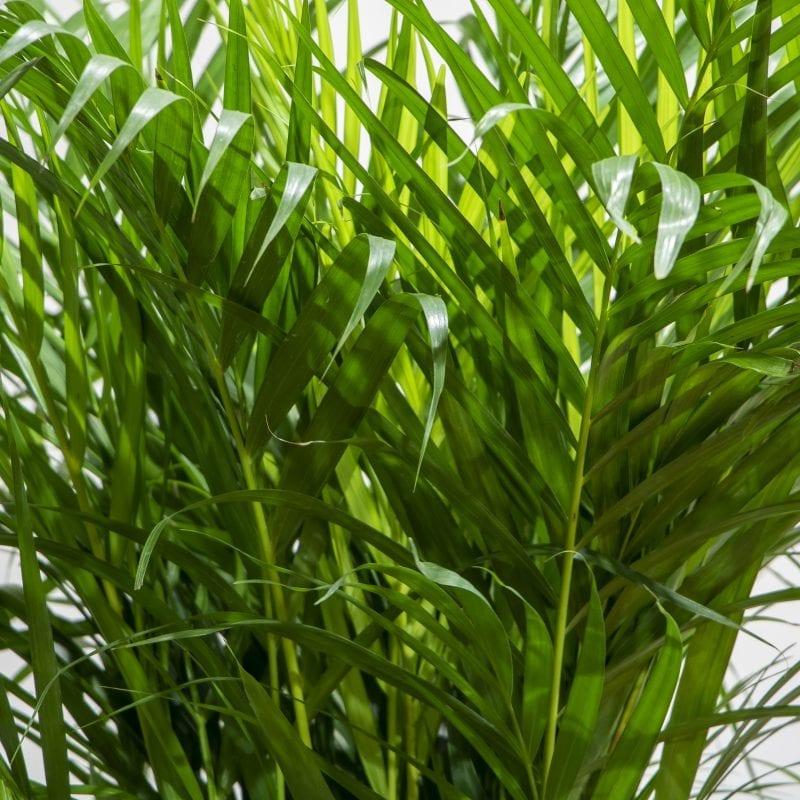 areca palm close up