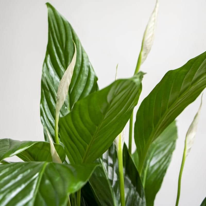close up of peace lily