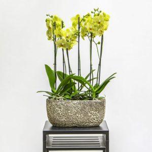 Yellow phalaneopsis