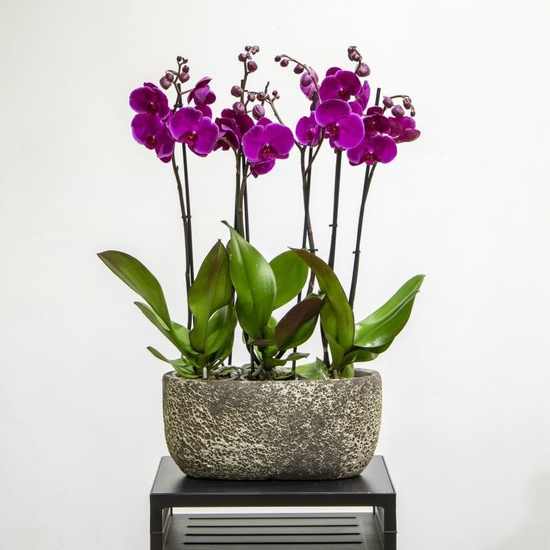 Dark purle orchids in a textured pot