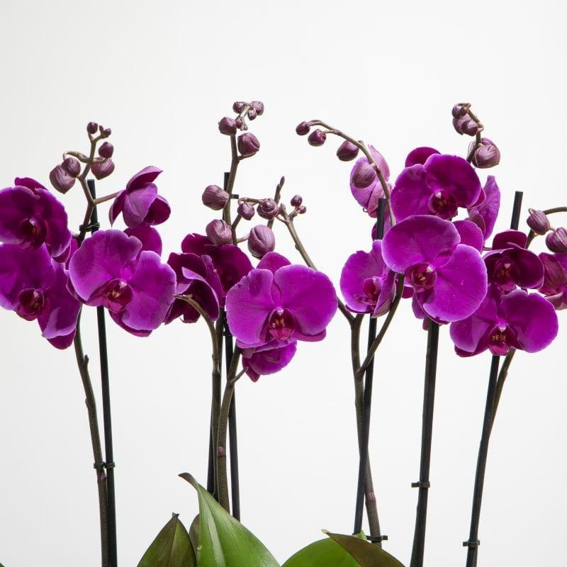 close up of dark purple orchids
