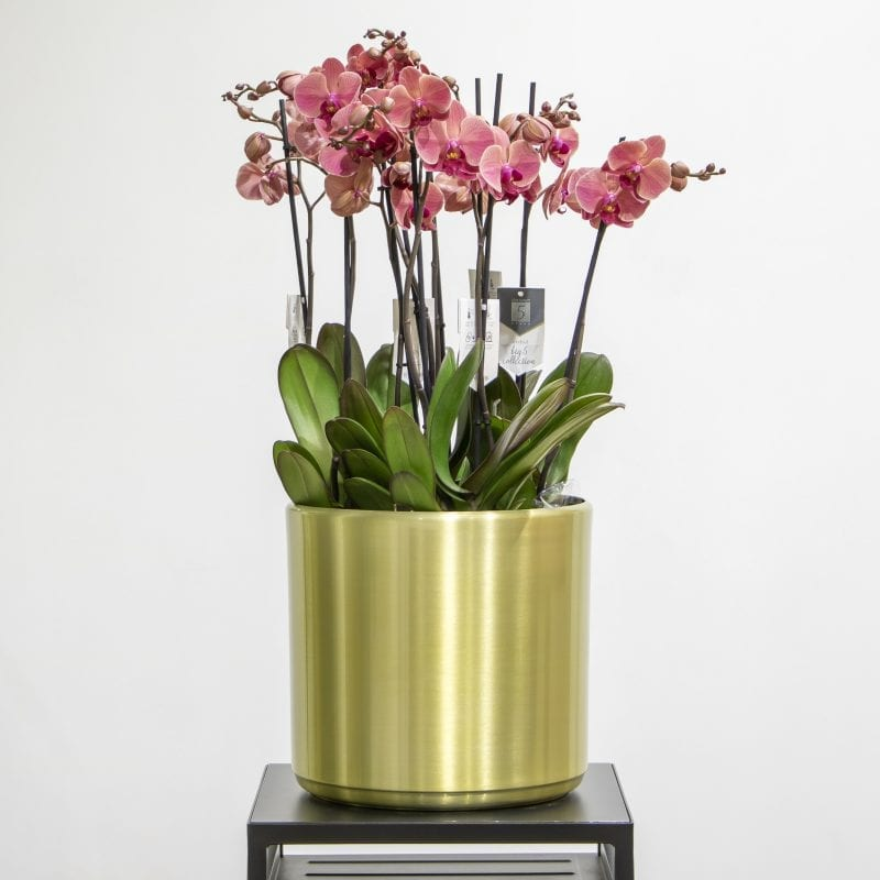 Pink phalaenopsis in a gold pot