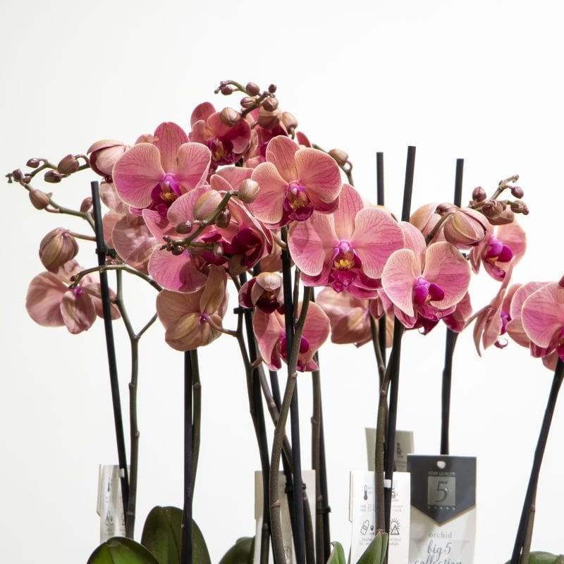 Pink phalaenopsis in a gold pot close up