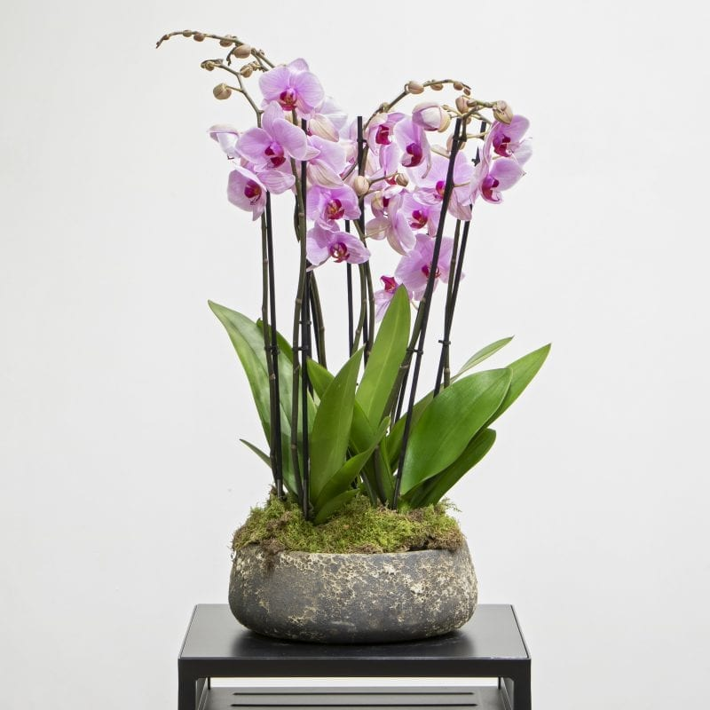 Purple orchids in a textured pot