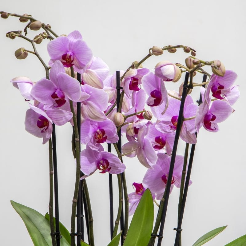 close up of light purple orchids