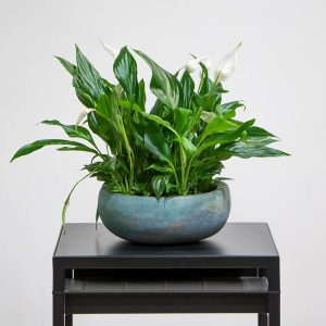 Spathiphyllum in a blue pot