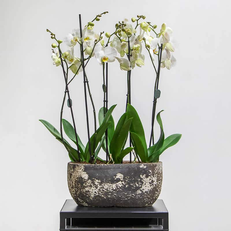 Phalaenopsis orchids in a textured pot