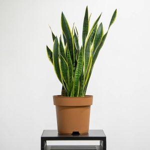 Dracaena trifasciata snake plant