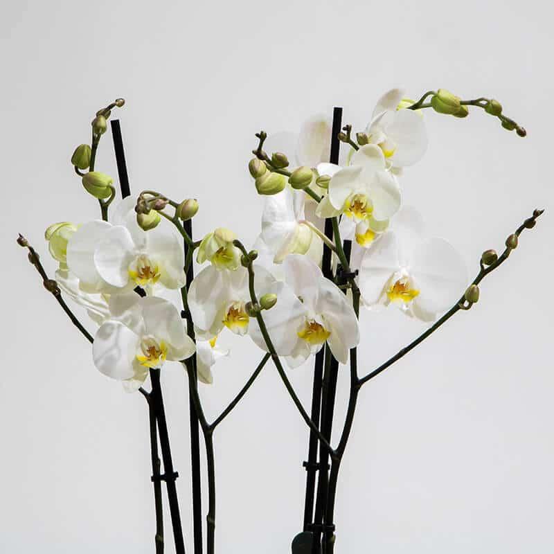Phalaenopsis plant close up