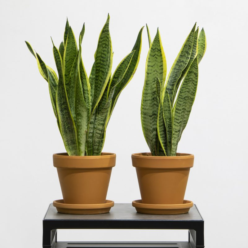 Two Snake plants