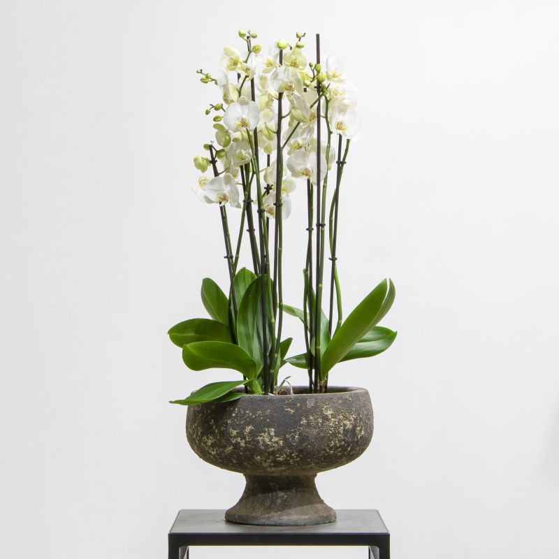 white phalaenopsis orchids in a textured pot