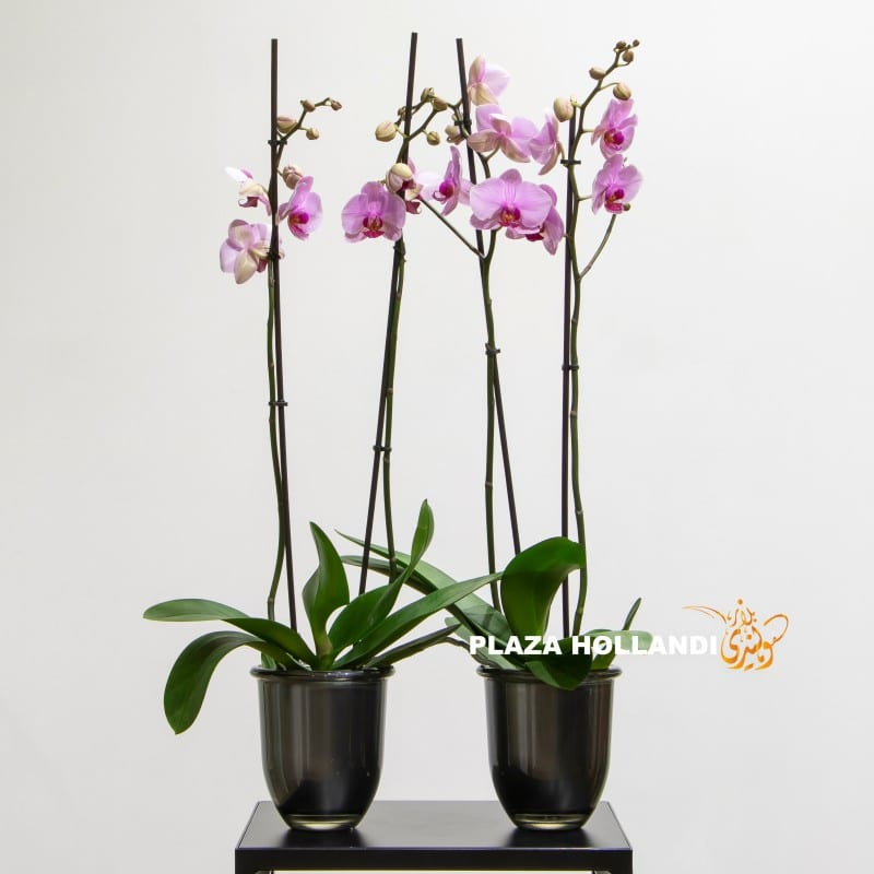 Pink phalaenopsis in black pots