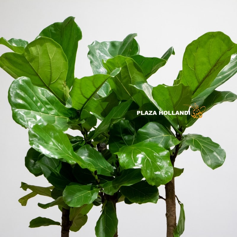 fiddle leaf fig tree close up