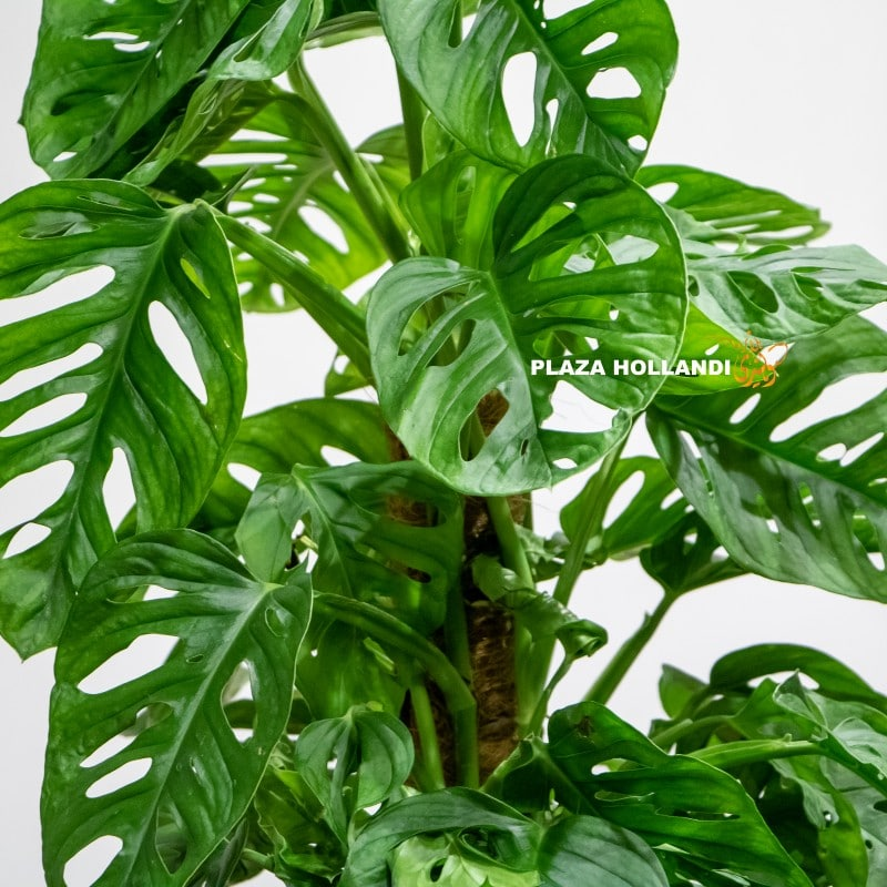 close up of monstera plant