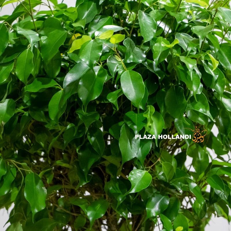 Ficus regina close up