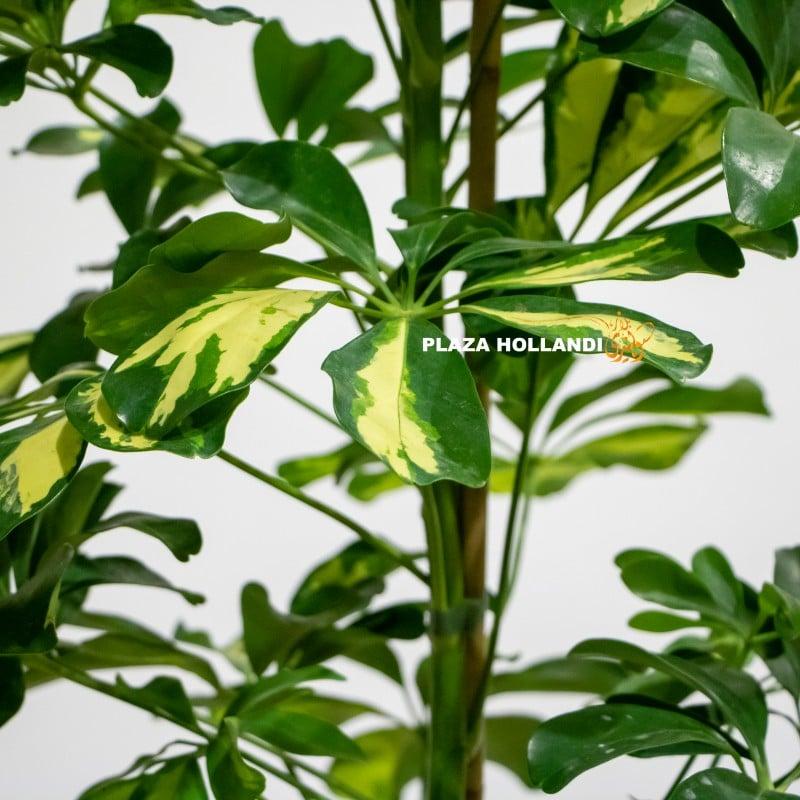 close up of schefflera arboricola