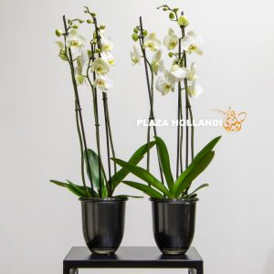 Two white phalaenopsis orchids