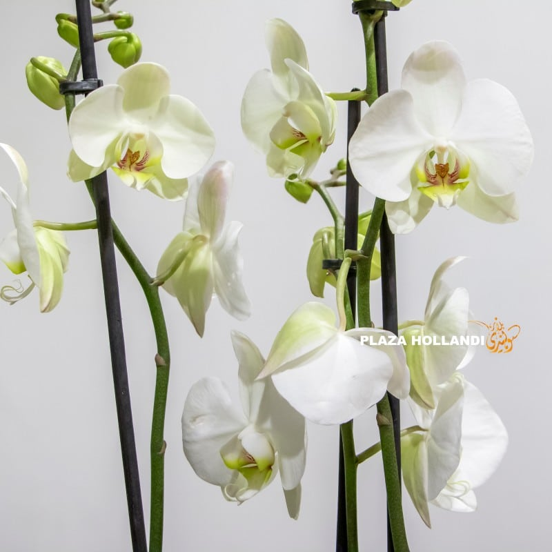 close up of white phalaenopsis orchids