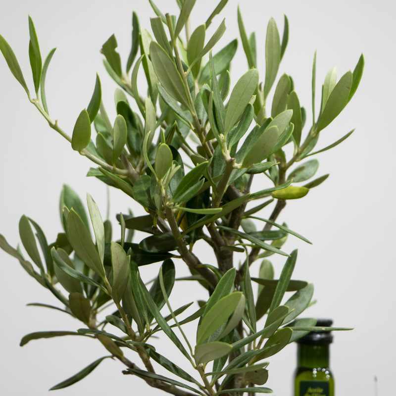 close up of Olive Tree