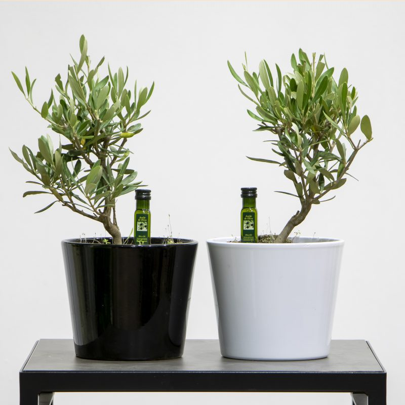 two miniature Olive Trees