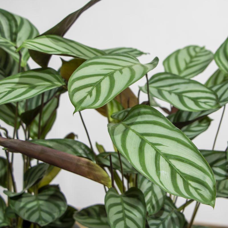close up of Calathea
