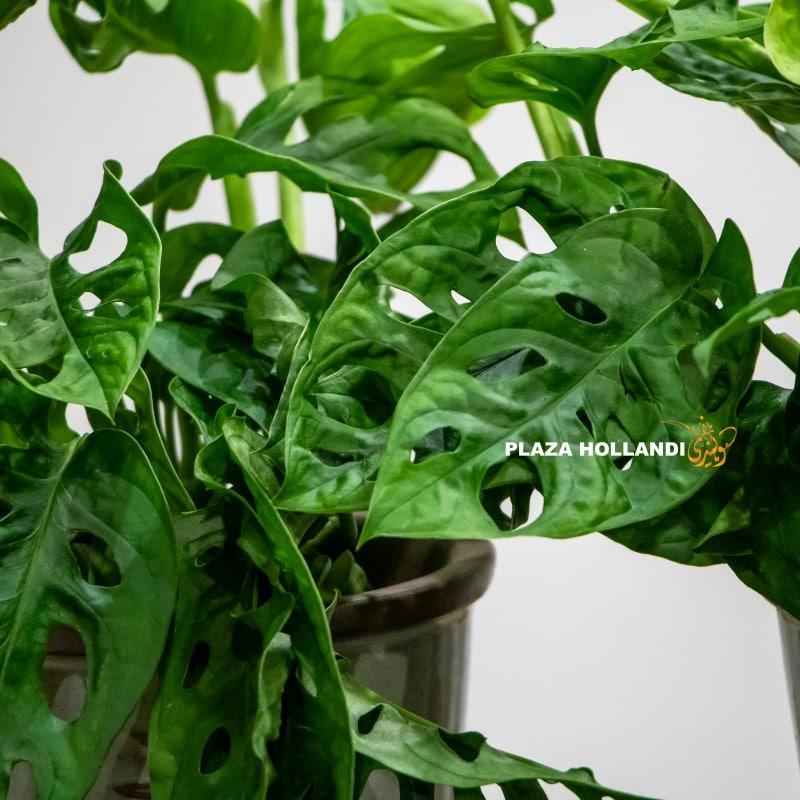 close up of Monstera Oblique