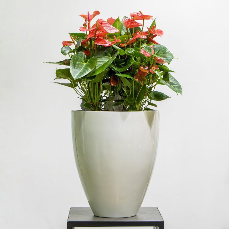 Anthurium plant in a white pot