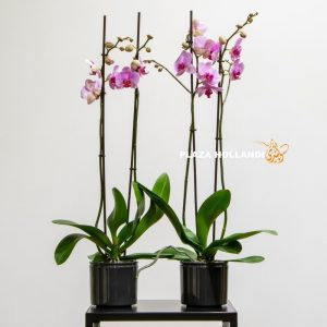 Pink orchids in black grey pots