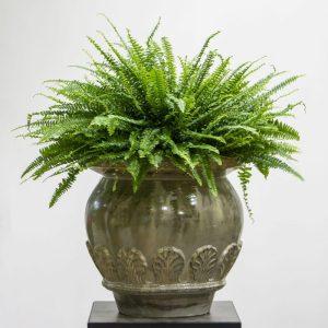 boston fern plant in a pot