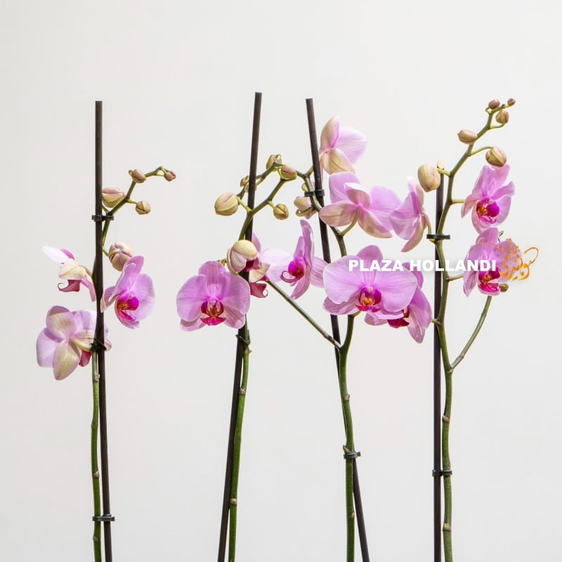 Close up of pink orchids