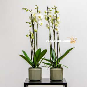 White orchids in a green pot