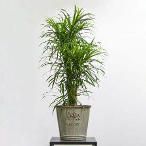 Dracaena Riky plant in a pot