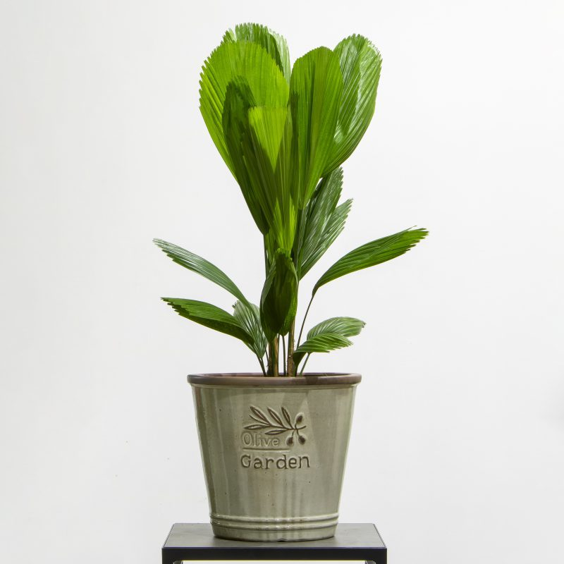 Licuala palm in a pot