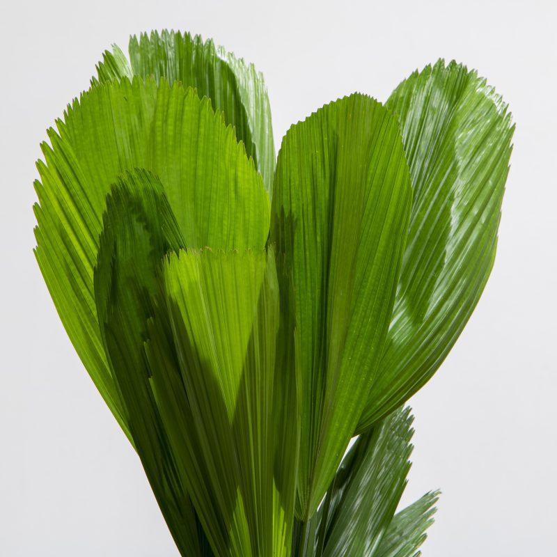 close up of Licuala palm