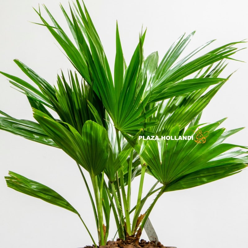 Close up of green palm