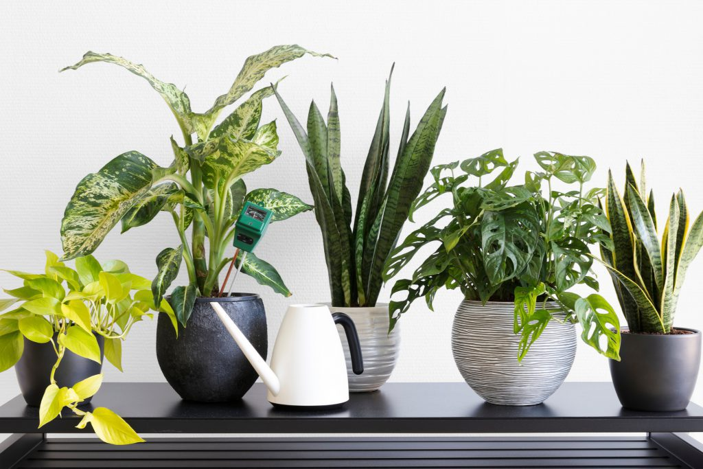 Indoor plant maintenance and a watering can
