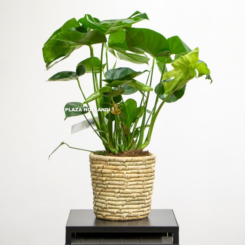 Monstera plant in a basket