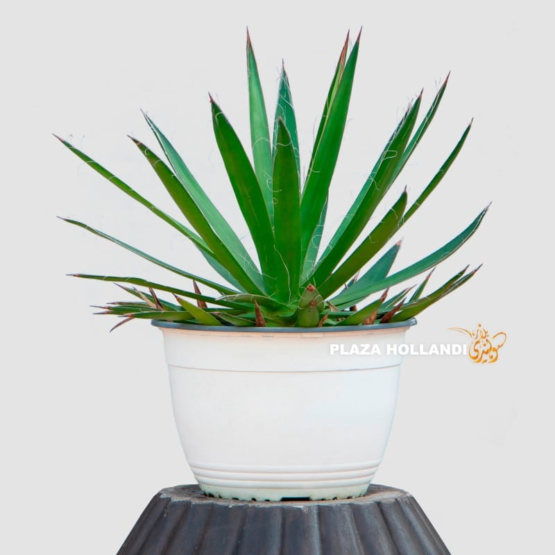 Agave multifililiea plant