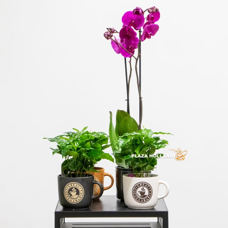phalaenopsis orchids and three coffee plants