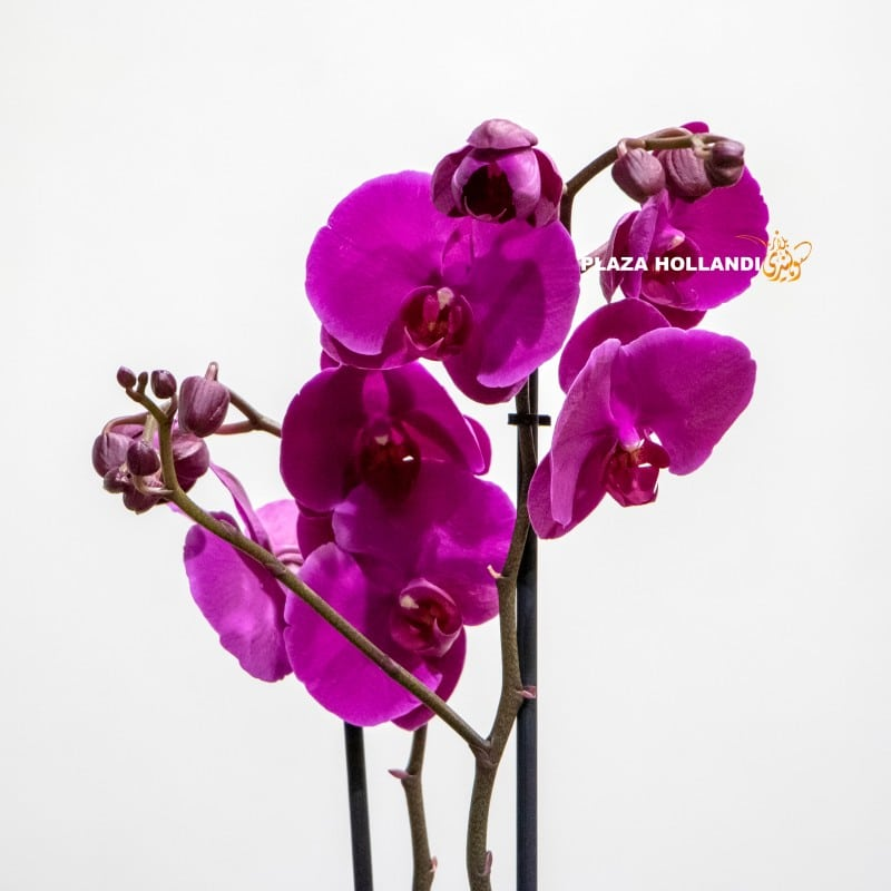 close up of Phalaenopsis orchid plant
