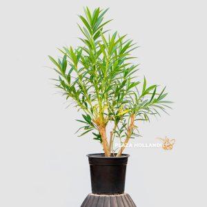 Nerium Oleander Plant