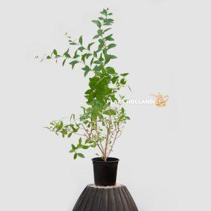 Lawsonia inermis plant