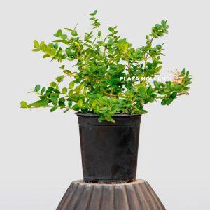 Carissa Microcarpa plant