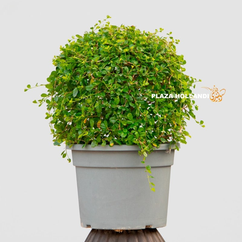 Ehretia Ball Plant