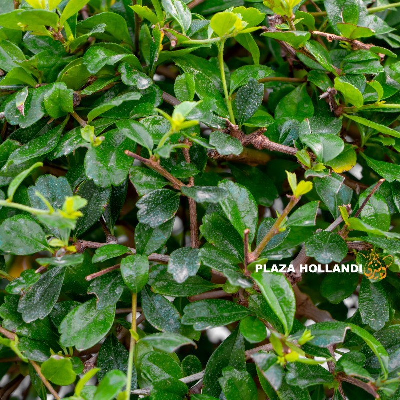 Close up of Ehretia ball plant