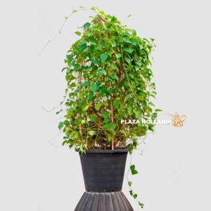Jacqueemontia Martii plant