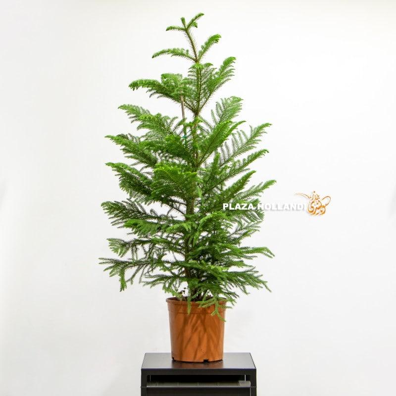 Araucaria Heterophylla Plant