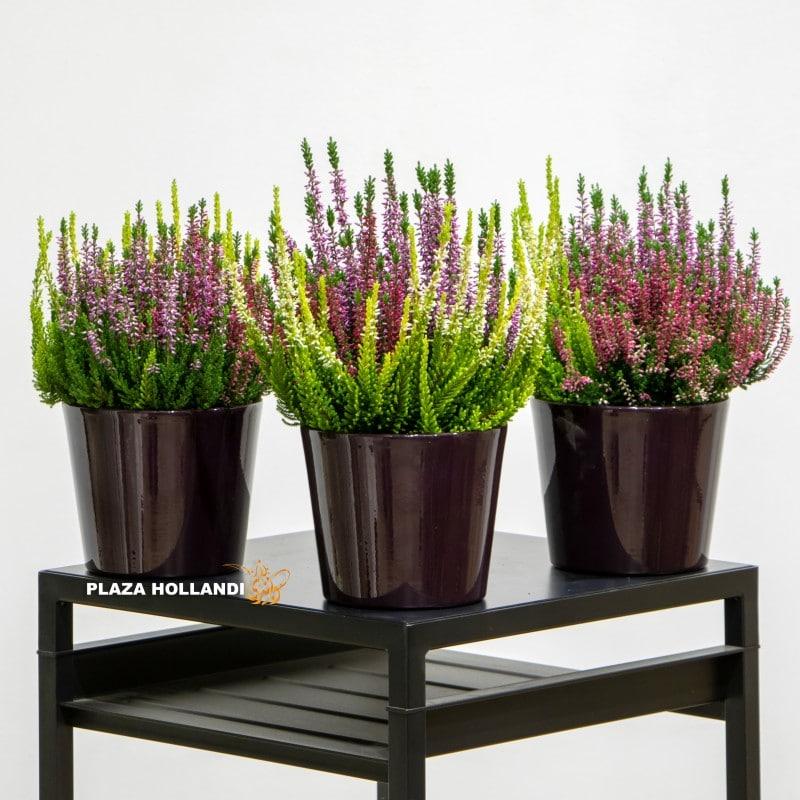 three heather plants in black pots