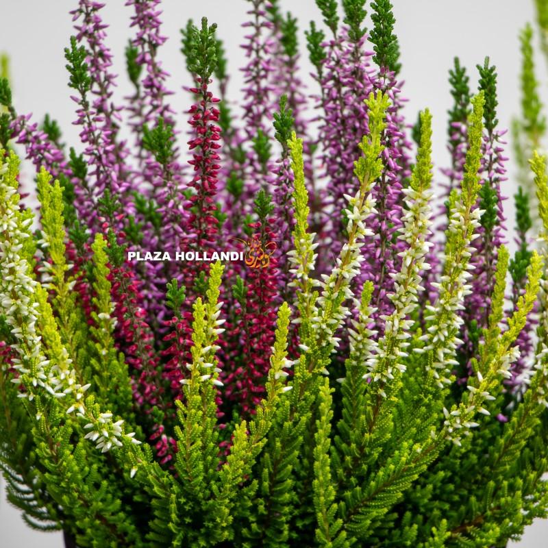 green heather plant