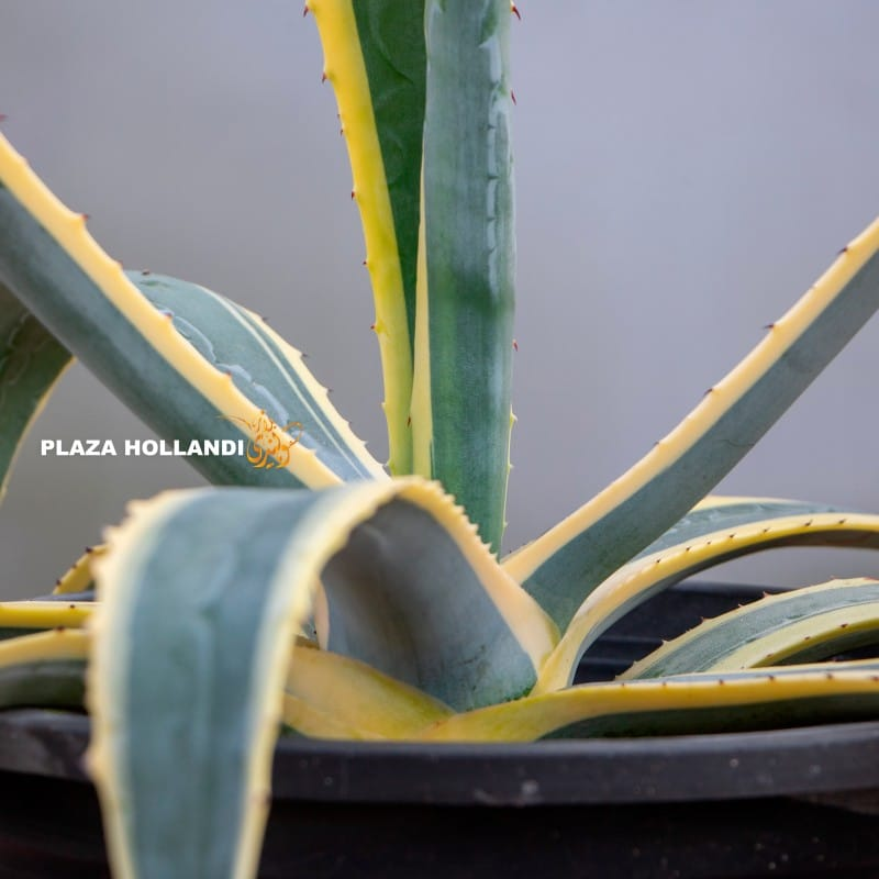 Agave America plant